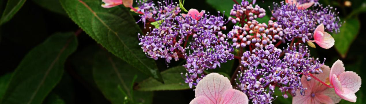 Гортензия шершавая: характеристики, сорта и выращивание