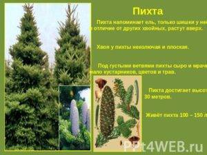 Пихта: описание видов и сортов, особенности выращивания