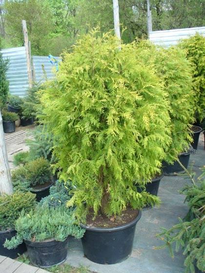 Туя западная «голден смарагд»: описание и выращивание