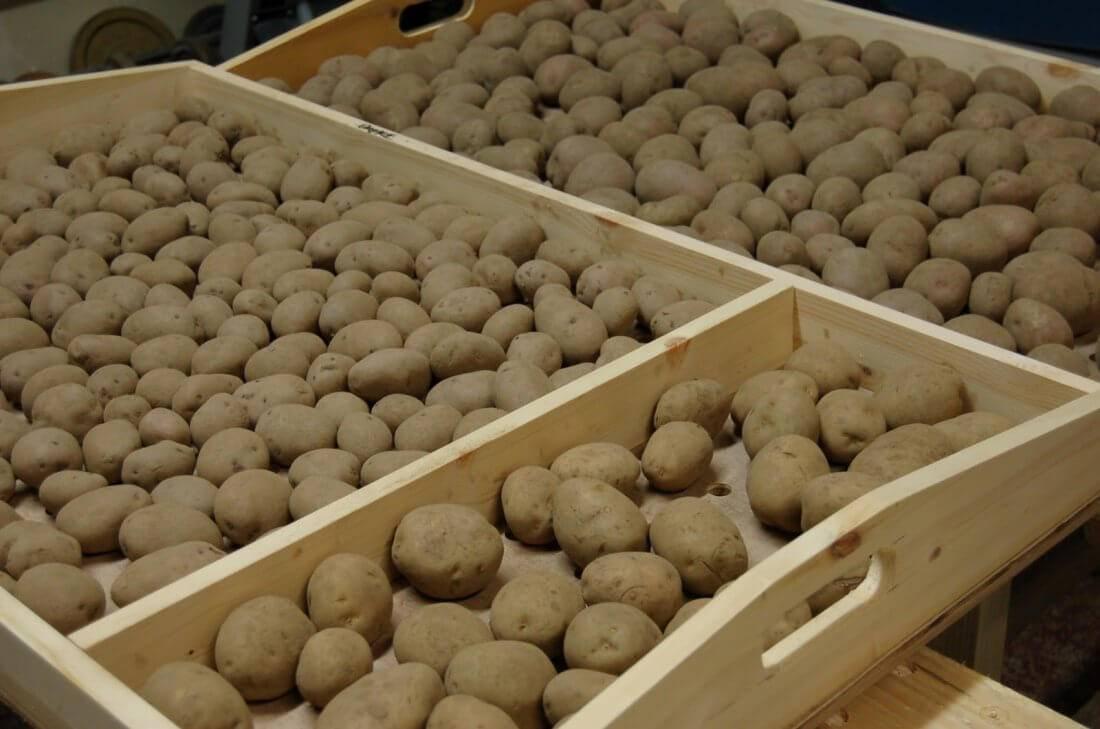 Подготовка картофеля к посадке – простые способы повышения урожайности