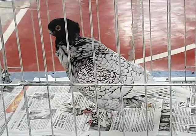 Узбекские голуби: особенности, виды и выращивание