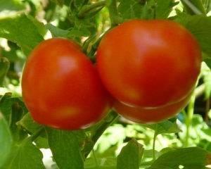 Календарь высадки рассады помидор в теплицу в мае 2020 года