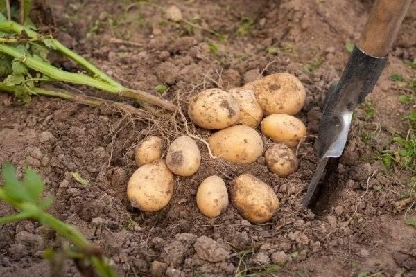 Сорт картофеля гала: сроки созревания и характеристика