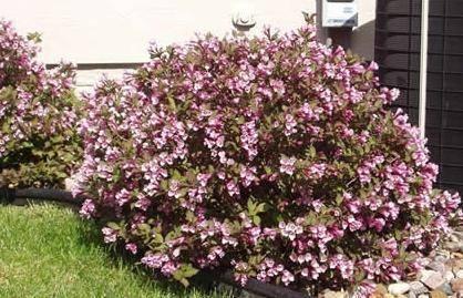 Вейгела: выращивание в саду, виды и сорта