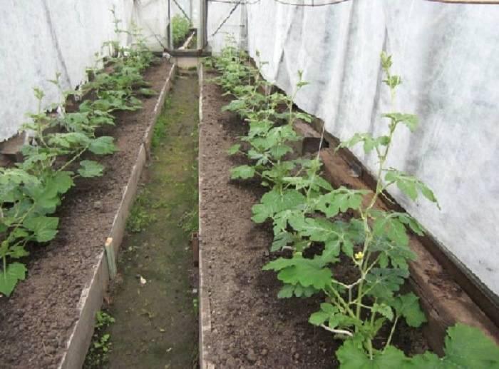 Как вырастить дыню в открытом грунте и теплице?