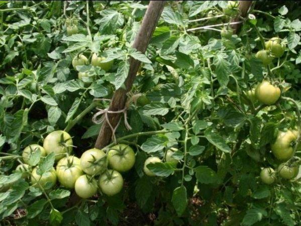 Посадка томатов в открытый грунт в сибири