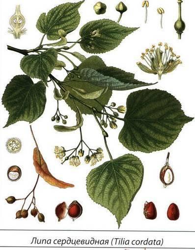 Медоносы-сорняки – обзор лучших растений