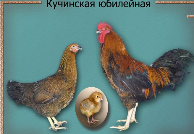 Кучинская юбилейная порода кур описание и характеристика