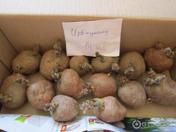 Как вырастить картофель - ирбитский - крупноплодный и высокоурожайный сорт: фото и описание