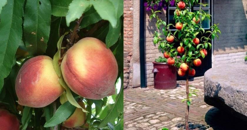 Правила выращивания и ухода за колоновидным персиком