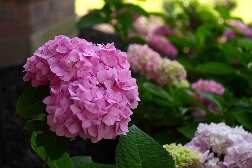Черешковые вьющиеся гортензии: сорта ползучей лианы, разведение на садовом участке