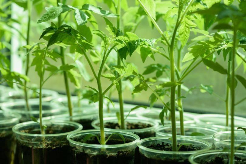 Томаты в открытом грунте в сибири: сроки посева семян в теплицы, выращивание рассады, а также, когда перемещать всходы и какие сорта помидоров лучше подойдут?