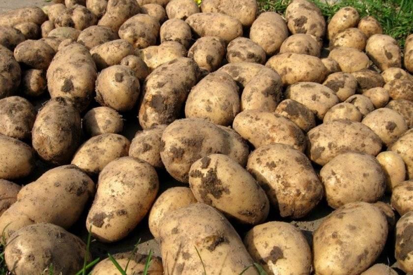 Картофель гулливер: описание сорта, фото, отзывы
