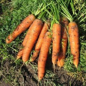 Подробная характеристика и агротехника выращивания моркови сорта болеро f1