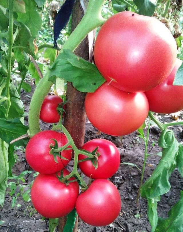 Сорта томатов для теплицы из поликарбоната – лучшие варианты