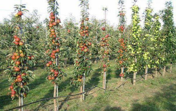 Сорта и выращивание яблони на карликовом подвое