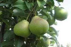 Груша августовская роса — описание и выращивание