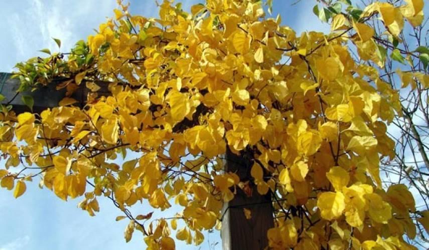 Лиана древогубец: как вырастить зеленую красавицу в саду
