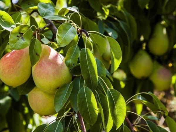 Груша северянка краснощекая: описание и фото плодов