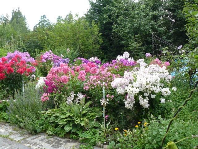 Флоксы: 125 фото идей применения растения в дизайне сада или участка