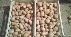 Для любителей ранних урожаев — картофель «брянский деликатес» : описание сорта и характеристика