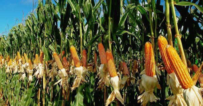 Как сажать кукурузу в открытый грунт: сроки посева, сорта, болезни и вредители