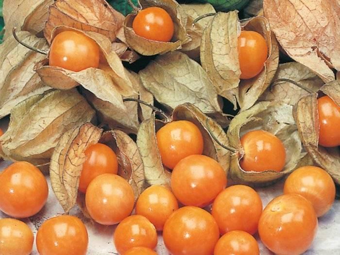 Физалис - фото, заготовка ягод, сорта и виды, применение, описание, размножение, пересадка