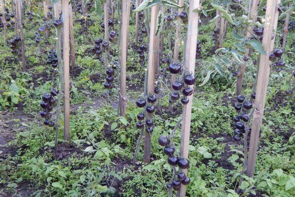 Томат индиго роуз: описание и характеристика сорта, уход и выращивание