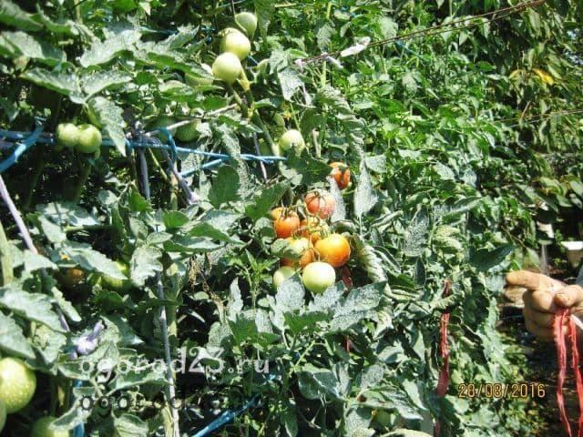 Помидоры яблонька россии: фото, отзывы, особенности сорта