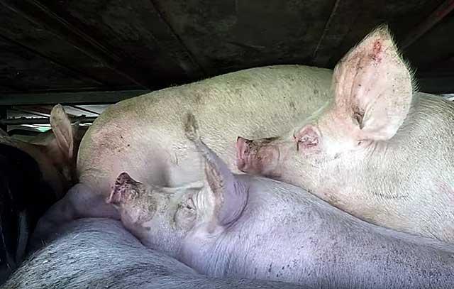 Выход мяса свинины от живого веса: как рассчитать, методы замеров