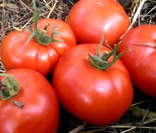 Красная стрела томат отзывы