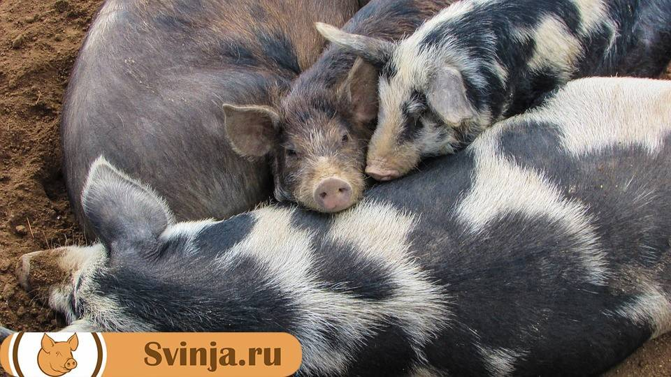 Рекомендации по измерению веса свиней в разном возрасте