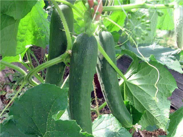 Особенности выращивания огурцов сорта «апрельский»