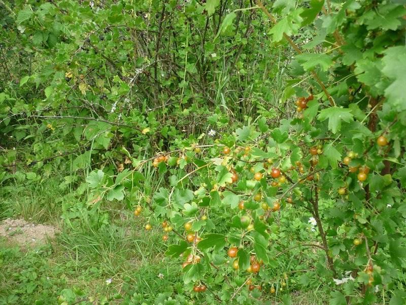 Смородина золотистая - 90 фото и описание как вырастить в своем саду