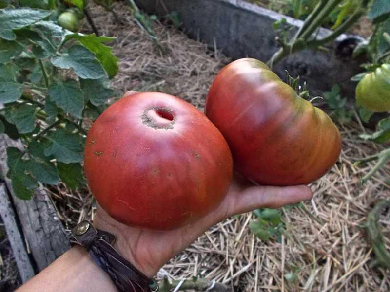 Помидор микадо: описание сорта, характеристики, особенности выращивания, отзывы