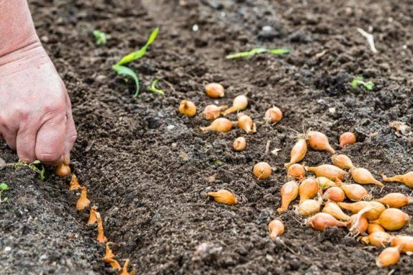 Выращивание лука и чеснока по лунному календарю 2020