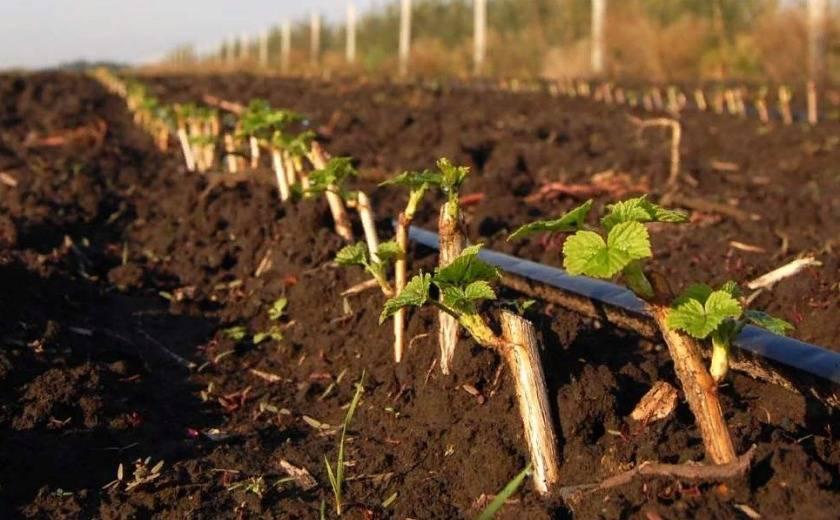 Способы размножения черной смородины черенками