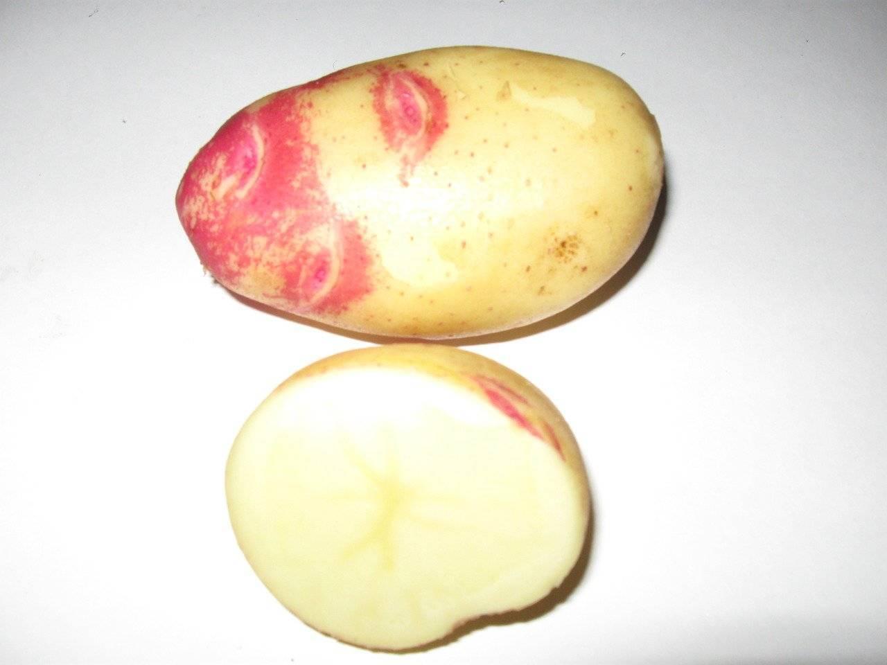 Сорт картофеля «чародей» – описание и фото