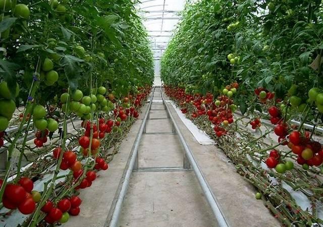 Рациональное соседство: можно ли сажать огурцы и помидоры в одной теплице вместе и как это делать?