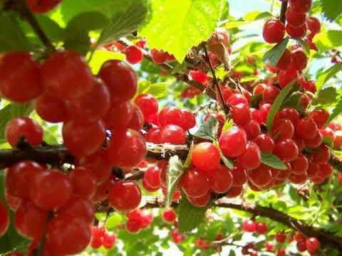 12 лучших сортов войлочной вишни с фото и описанием