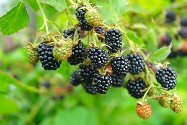 Описание и особенности выращивания сорта ежевики полар