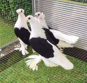 Узбекские бойные голуби: видео, разновидности, разведение