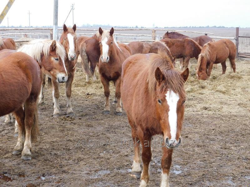 Лошадь — тяжеловес: происхождение и развитие породы