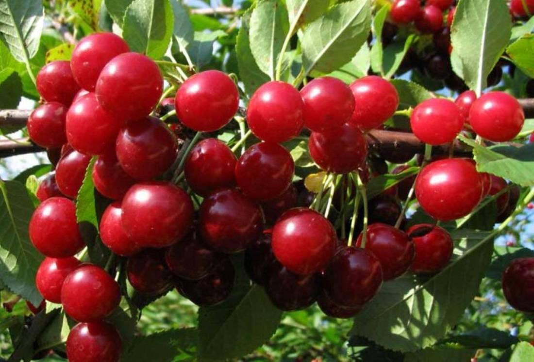 Отлично переносит засуху и лютые морозы — вишня сорта ашинская степная
