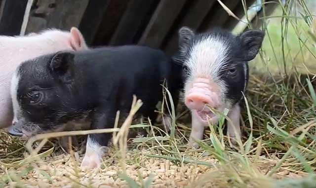 Почему кашляют поросята — животноводство