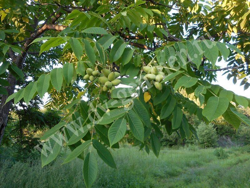 Лечебные свойства маньчжурского ореха для организма
