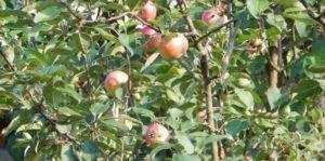 Яблоня эрли женева: описание сорта, фото, отзывы садоводов