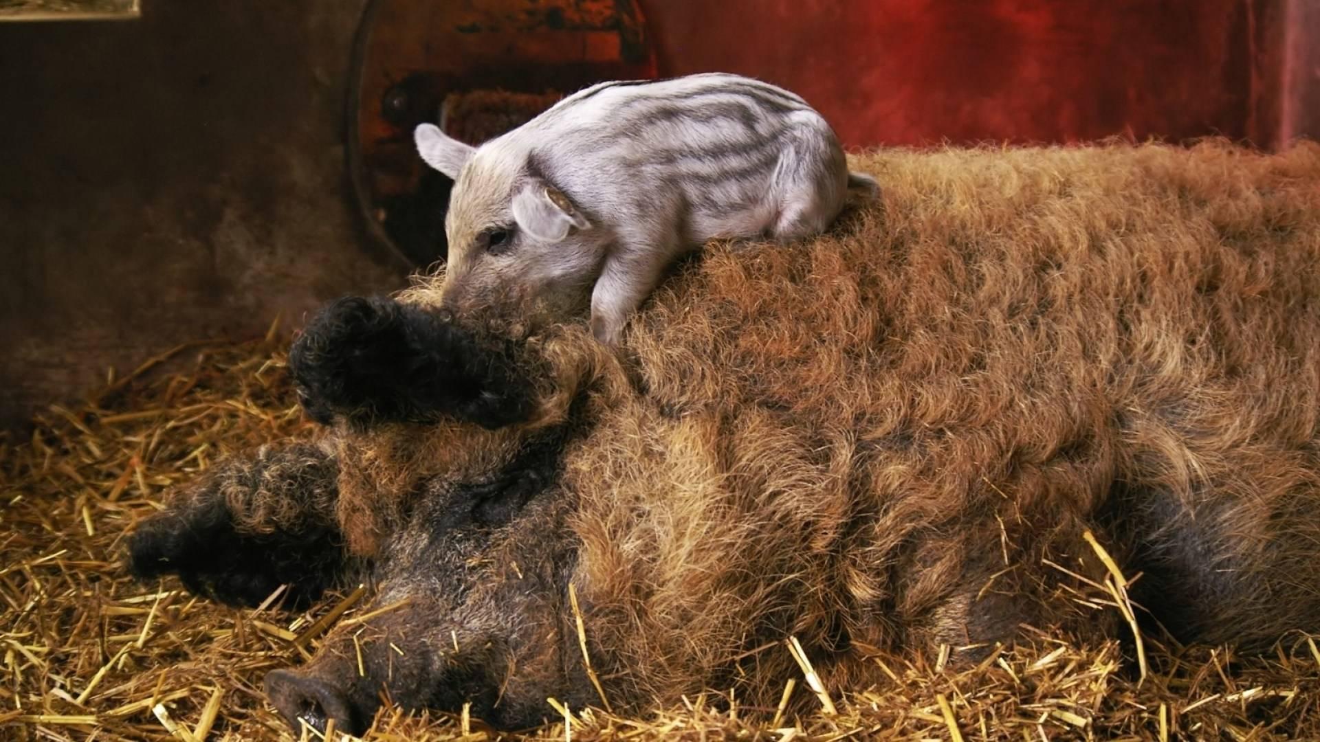 Свиньи мангалица: характеристика, фото, отзывы о породе
