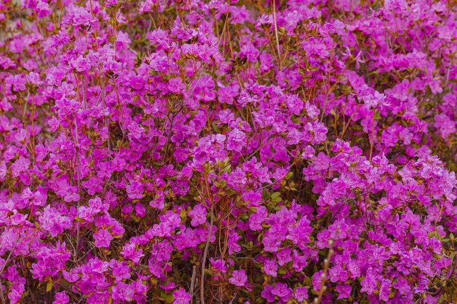 Выращивание рододендронов в сибири