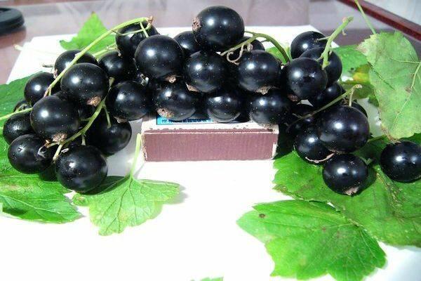 Сорт чёрной смородины лентяй: характеристика, вкусовые качества